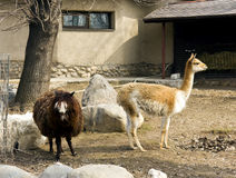 Alpaco en guanaco royalty-vrije stock foto