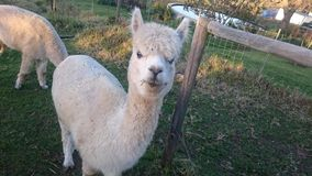 Alpaco. Wool farming, young ewe royalty free stock photos