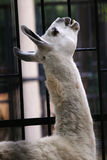 Alpaga Photographie stock libre de droits