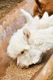 Alpaga Fotografie Stock Libere da Diritti