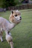 Alpaga, Immagini Stock Libere da Diritti