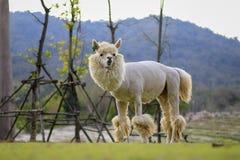 Alpaga, Fotografie Stock