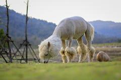 Alpaga, Fotografia Stock