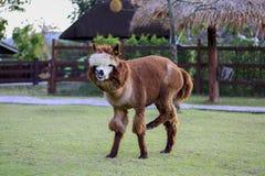 Alpaga, Immagine Stock Libera da Diritti