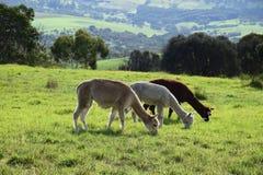 Alpaga adorabile tre che mangia erba in azienda agricola australiana Fotografia Stock
