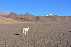 Alpaga al deserto di Dali, Bolivia Immagini Stock