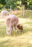 Alpaga in all'aperto Immagini Stock Libere da Diritti