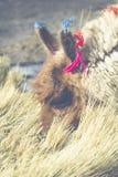 Alpaga alla laguna di Colorado, Salt Lake, Bolivia, Sudamerica Immagini Stock