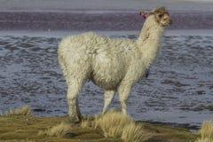 Alpaga alla laguna di Colorado, Salt Lake, Bolivia, Sudamerica Immagine Stock Libera da Diritti