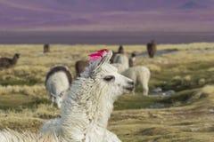 Alpaga alla laguna di Colorado, Salt Lake, Bolivia, Sudamerica Fotografia Stock