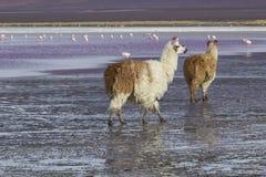 Alpaga alla laguna di Colorado, Salt Lake, Bolivia, Sudamerica Fotografie Stock Libere da Diritti