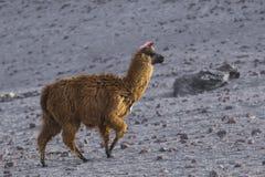 Alpaga alla laguna di Colorado, Salt Lake, Bolivia, Sudamerica Fotografia Stock Libera da Diritti
