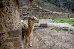 Alpaga alle rovine di inca in Ollantaytambo, Perù Fotografia Stock