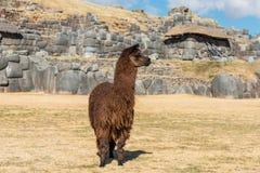 Alpaga alle rovine di Sacsayhuaman nelle Ande peruviane a Cuzco Perù Immagini Stock Libere da Diritti
