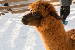 Alpaga allo zoo Capelli rossi Giorno di inverno Pacos del Vicugna Immagine Stock
