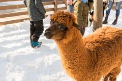 Alpaga allo zoo Capelli rossi Giorno di inverno Pacos del Vicugna Fotografia Stock Libera da Diritti