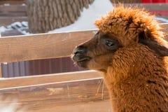 Alpaga allo zoo Capelli rossi Giorno di inverno Pacos del Vicugna Fotografia Stock