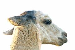 Alpaga, amaru di pacos del Vicugna Fotografia Stock