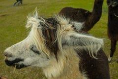 Alpaga in America Fotografia Stock