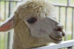 Alpaga amichevole sorridente Fotografie Stock Libere da Diritti
