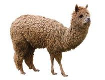 Alpaga, animale domestico, isolato su un fondo bianco Fotografia Stock Libera da Diritti