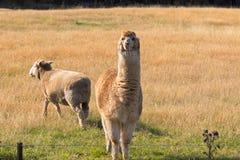 Alpaga, animale lanuginoso con il supporto beige della pelliccia accanto alle pecore sui gras Fotografie Stock Libere da Diritti