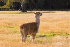 Alpaga, animale lanuginoso con il supporto beige della pelliccia sul pascolo giallo m. Immagini Stock