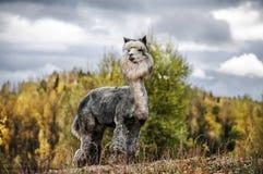 Alpaga in autunno Fotografia Stock Libera da Diritti
