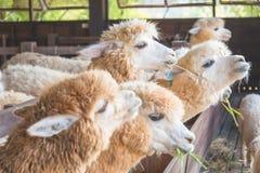 Alpaga in azienda agricola Fotografie Stock Libere da Diritti