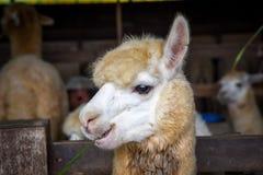 Alpaga bella di sorriso con erba verde nella loro bocca Immagine Stock