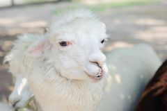 Alpaga bianca Immagine Stock Libera da Diritti