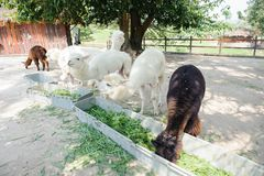 Alpaga bianca Fotografia Stock