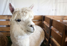 Alpaga bianca Fotografie Stock Libere da Diritti