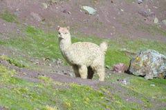 Alpaga bianca Immagini Stock Libere da Diritti