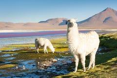 Alpaga bianca, Altiplano, Bolivia Fotografia Stock Libera da Diritti