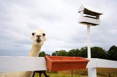 Alpaga bianca che aspetta l'alimentazione Fotografie Stock