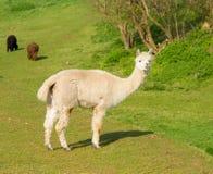 Alpaga bianca che esamina macchina fotografica con due marroni e l'alpaca nera nel fondo Immagini Stock