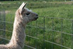 Alpaga bianca che esamina un recinto Immagini Stock Libere da Diritti