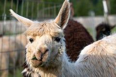 Alpaga bianca che fa un fronte divertente mentre masticando erba Fotografia Stock