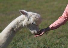 Alpaga bianca che mangia dalla mano Immagini Stock Libere da Diritti