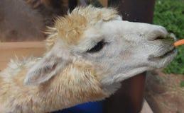 Alpaga bianca che mastica su una carota Fotografia Stock Libera da Diritti