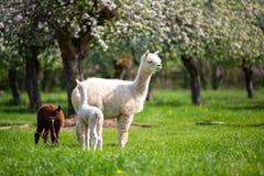 Alpaga bianca con la prole immagine stock