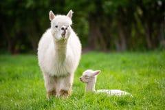 Alpaga bianca con la prole fotografie stock libere da diritti