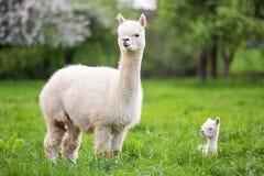 Alpaga bianca con la prole fotografia stock libera da diritti