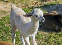 Alpaga bianca del bambino Fotografie Stock Libere da Diritti