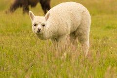 Alpaga bianca del bambino su vetro verde Fotografia Stock