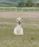 Alpaga bianca di seduta Immagine Stock