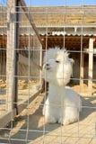 Alpaga bianca e lanuginosa in una gabbia Immagine Stock