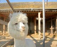 Alpaga bianca e lanuginosa in una gabbia Immagini Stock Libere da Diritti