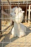 Alpaga bianca e lanuginosa in una gabbia Immagine Stock Libera da Diritti